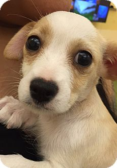 Chihuahua/Terrier (Unknown Type, Small) Mix Puppy for adoption in San Francisco, California - Stella
