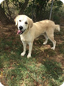 Great Pyrenees Dog for adoption in Moody, Alabama - Shepp