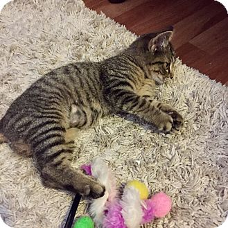 Domestic Shorthair Kitten for adoption in Carlisle, Pennsylvania - MissyCP