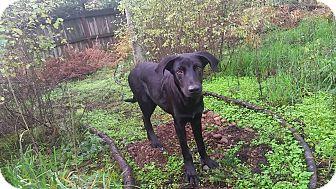 Labrador Retriever Mix Puppy for adoption in Olympia, Washington - Saturn