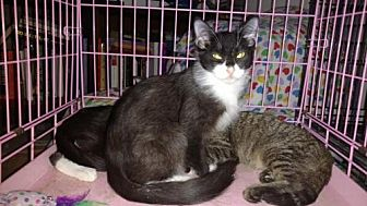 Domestic Mediumhair Cat for adoption in Atlanta, Georgia - Fritz
