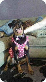 Rottweiler Dog for adoption in Sanford, Florida - Dixie
