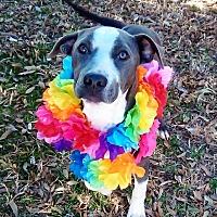 Adopt A Pet :: Penelope - Vernon, TX