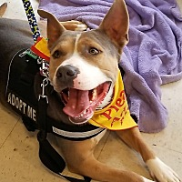 American Staffordshire Terrier Mix Dog for adoption in Palm Springs, California - Frankie