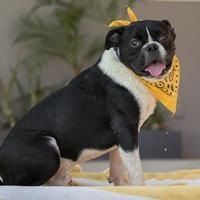 Adopt A Pet :: Thor - Palm Springs, CA