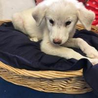 Adopt A Pet :: Tiny Tim - Brownwood, TX