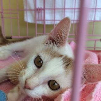Domestic Shorthair/Domestic Shorthair Mix Cat for adoption in Houston, Texas - IAN