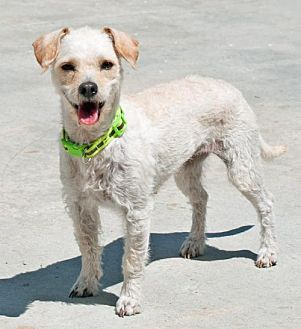 Terrier (Unknown Type, Medium)/Poodle (Miniature) Mix Dog for adoption in San Diego, California - Vienna