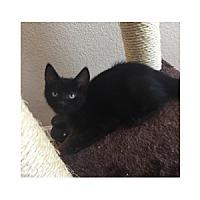 Adopt A Pet :: Pebbles - Chandler, AZ