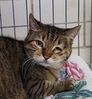 Domestic Shorthair Cat for adoption in Lago Vista, Texas - Winkie