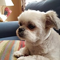 Shih Tzu Dog for adoption in Springfield, Virginia - Paisley