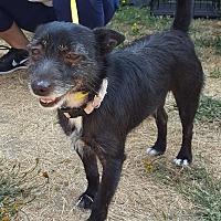 Adopt A Pet :: Bingo - Seattle, WA