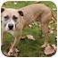 Photo 2 - Pit Bull Terrier/Labrador Retriever Mix Dog for adoption in Chicago, Illinois - Sandy