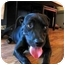 Photo 2 - American Staffordshire Terrier/Labrador Retriever Mix Dog for adoption in Hagerstown, Maryland - Starbuck