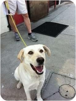 Labrador Retriever Puppy for adoption in Burbank, California - Alice - AMAZING PUPPY!!