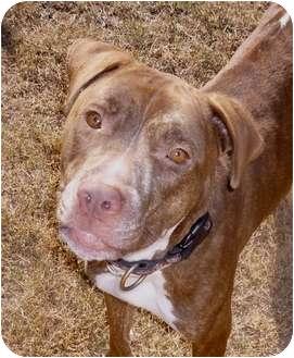 "American Pit Bull Terrier/Terrier (Unknown Type, Medium) Mix Dog for adoption in Phoenix, Arizona - ""Ella""COURTESY POST"