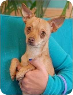 Chihuahua Dog for adoption in Las Vegas, Nevada - Chevie
