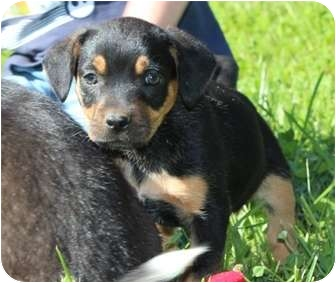 Rottweiler Mix Puppy for adoption in Hagerstown, Maryland - Miss Piggy