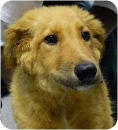 Collie/Chow Chow Mix Puppy for adoption in Lincolnton, North Carolina - Chauncy