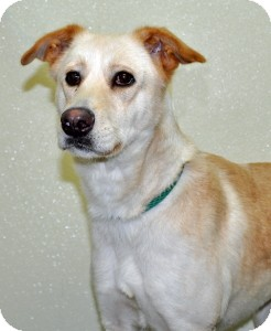 Labrador Retriever Mix Dog for adoption in Port Washington, New York - Hazel