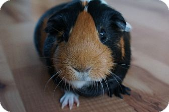 Guinea Pig for adoption in Brooklyn Park, Minnesota - Butters
