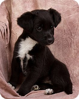 Terrier (Unknown Type, Small) Mix Puppy for adoption in Anna, Illinois - ESTHER
