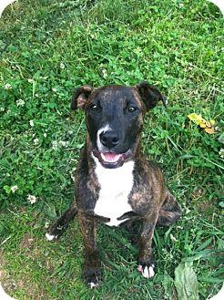 Labrador Retriever/Retriever (Unknown Type) Mix Dog for adoption in Marietta, Georgia - Diesel