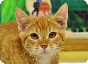 Domestic Shorthair Cat for adoption in Searcy, Arkansas - Peter