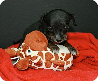 Chihuahua Mix Puppy for adoption in Lufkin, Texas - Thumbelina