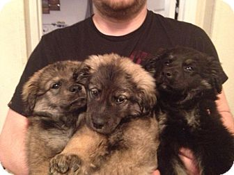 Shepherd (Unknown Type)/Norwegian Elkhound Mix Puppy for adoption in Largo, Florida - Shepard mix litter!