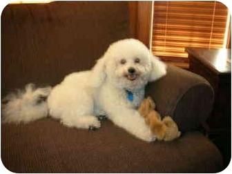Bichon Frise Dog for adoption in La Costa, California - Cuddles