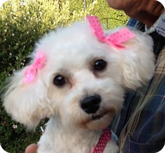 Maltese/Poodle (Miniature) Mix Dog for adoption in San Marcos, California - Ally