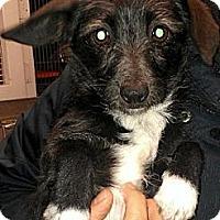 Adopt A Pet :: Tinker - Seattle, WA