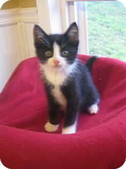 Domestic Shorthair Kitten for adoption in Bloomsburg, Pennsylvania - Maestro