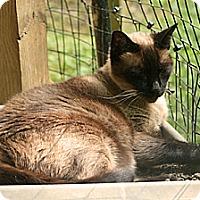 Adopt A Pet :: Sheba - Columbia, MD