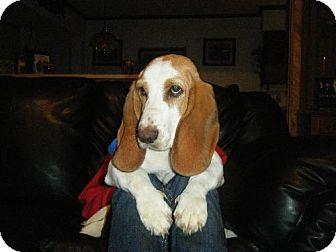 Basset Hound Dog for adoption in Grapevine, Texas - Fiona