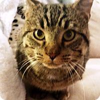 Adopt A Pet :: Cougar - Nolensville, TN