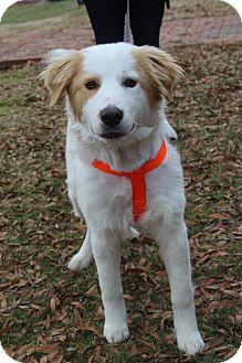 Golden Retriever/Brittany Mix Puppy for adoption in Staunton, Virginia - Winslow