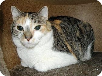 Calico Cat for adoption in Turnersville, New Jersey - Cinnamon