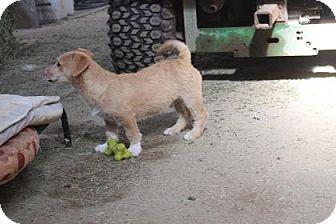 Terrier (Unknown Type, Medium)/Bichon Frise Mix Puppy for adoption in Tucson, Arizona - Zeus