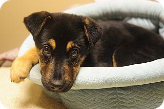 German Shepherd Dog Mix Puppy for adoption in Eden Prairie, Minnesota - Beezie