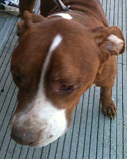 Pit Bull Terrier Mix Dog for adoption in Madisonville, Louisiana - Gumbo