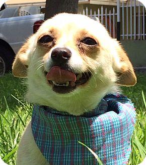 Chihuahua Mix Dog for adoption in Santa Monica, California - NOLAN