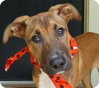 Hound (Unknown Type) Mix Dog for adoption in Baton Rouge, Louisiana - Charming Charlie