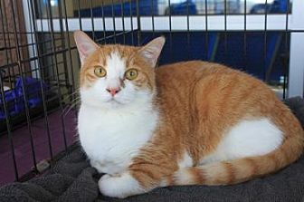 Domestic Shorthair Cat for adoption in Smyrna, Georgia - Marigold