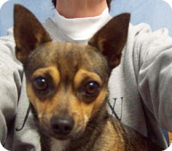 Chihuahua Dog for adoption in Green Cove Springs, Florida - Harley