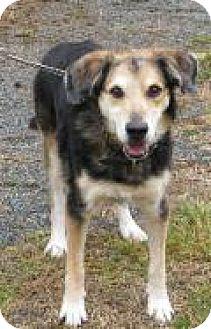 Shepherd (Unknown Type)/Labrador Retriever Mix Dog for adoption in Mineral, Virginia - Rebel D50