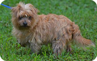 Yorkie, Yorkshire Terrier/Chihuahua Mix Dog for adoption in Lebanon, Missouri - Dakota