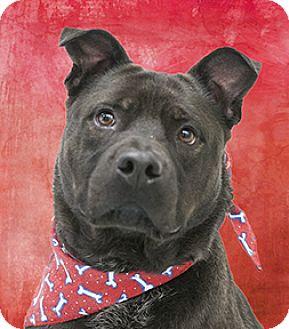 Labrador Retriever/Chow Chow Mix Dog for adoption in Cincinnati, Ohio - George