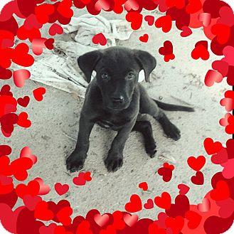 Labrador Retriever Mix Puppy for adoption in Portland, Oregon - Angus